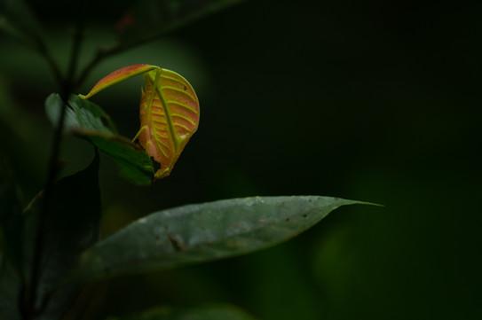 Leaf-legged Katydid (Eulophophyllum lobulatum)