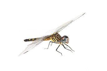 Blue Dasher (Pachydiplax longipennis), Female