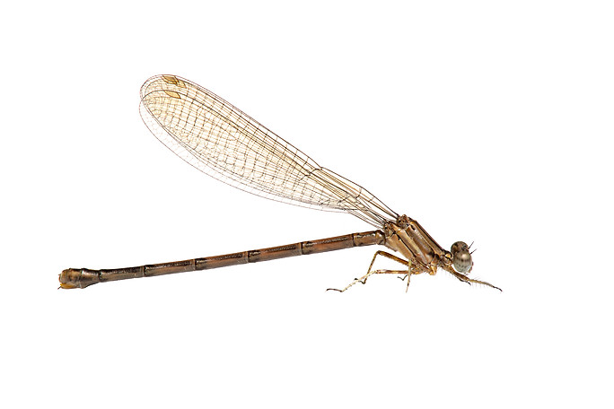 Variable Dancer (Argia fumipennis), Female