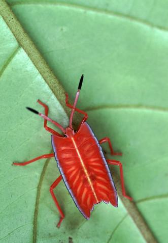 Red Stink Bug (Pycanum rubeus), nymph