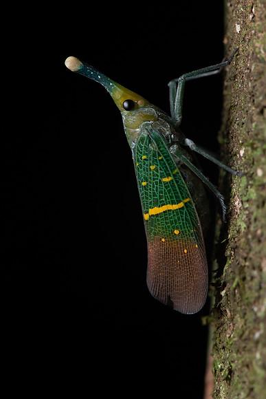 Lantern bug (Saiva transversolineata)