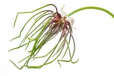 Wild onion (Allium canadense)