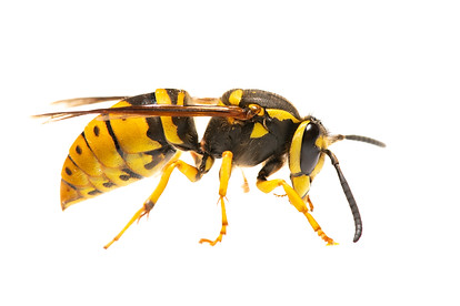 Eastern Yellowjacket queen