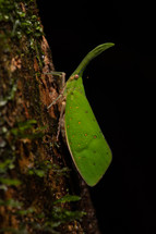 Lantern bug (Pyrops candelaria)