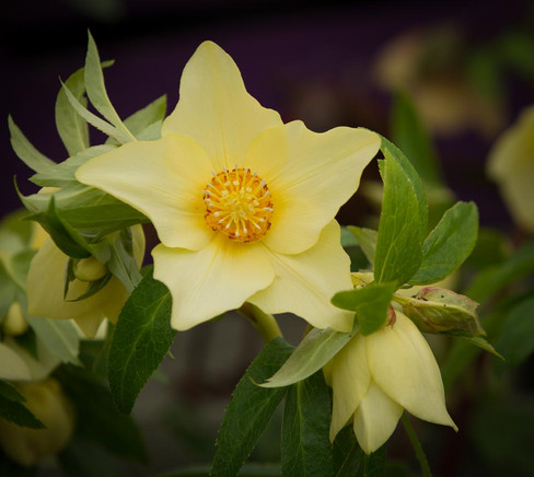 Yellow Star Shaped Hellebore