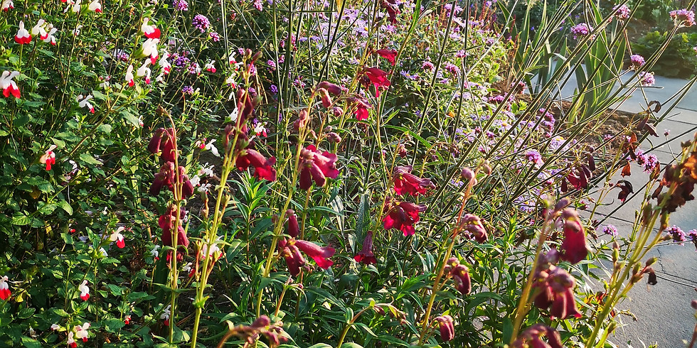 Penstemons and other Summer Sun Lovers