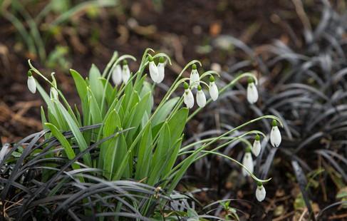 Snowdrops and black grasses