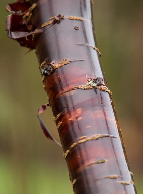 Himalayan Cherry - Prunus Rufa