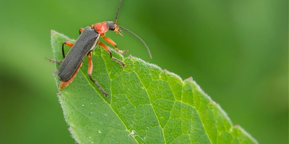 How to Love Lily Beetles and Admire Slugs