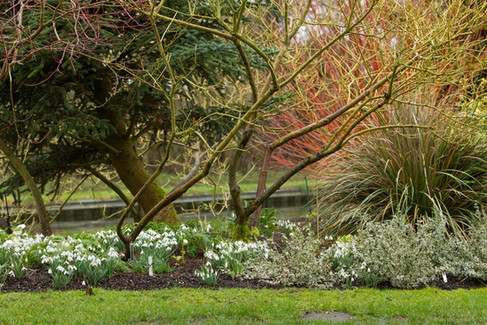Snowdrops and dogwoods