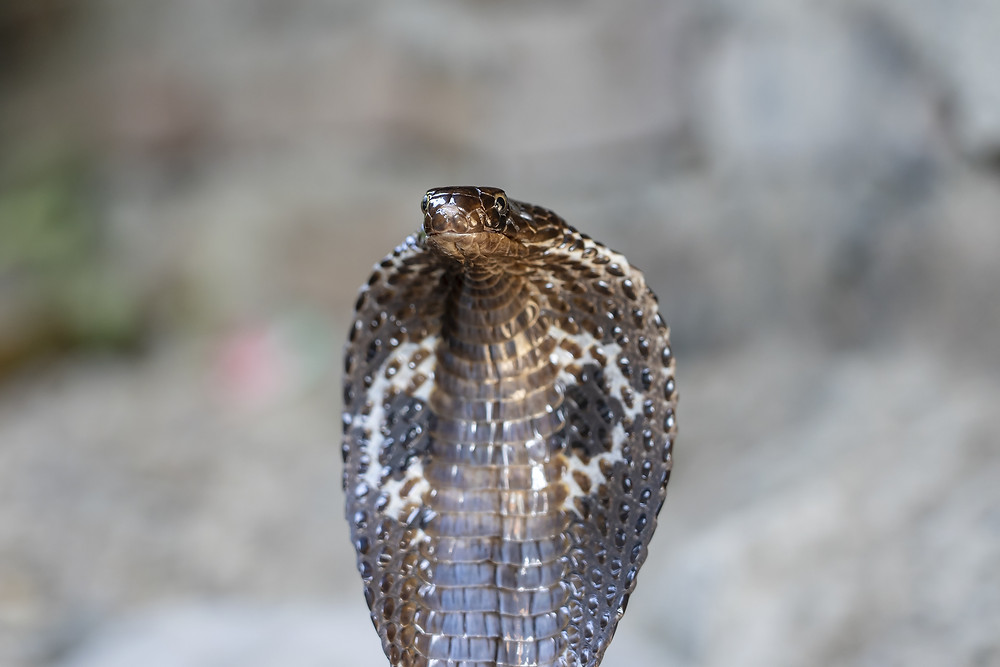 Indian Cobra - Pediatric Dentist Phoenix