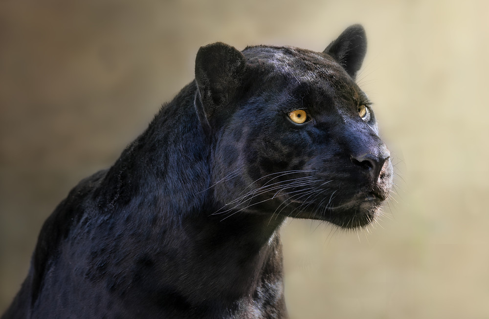 Black Panther/Indian Leopard - Pediatric Dentist Phoenix