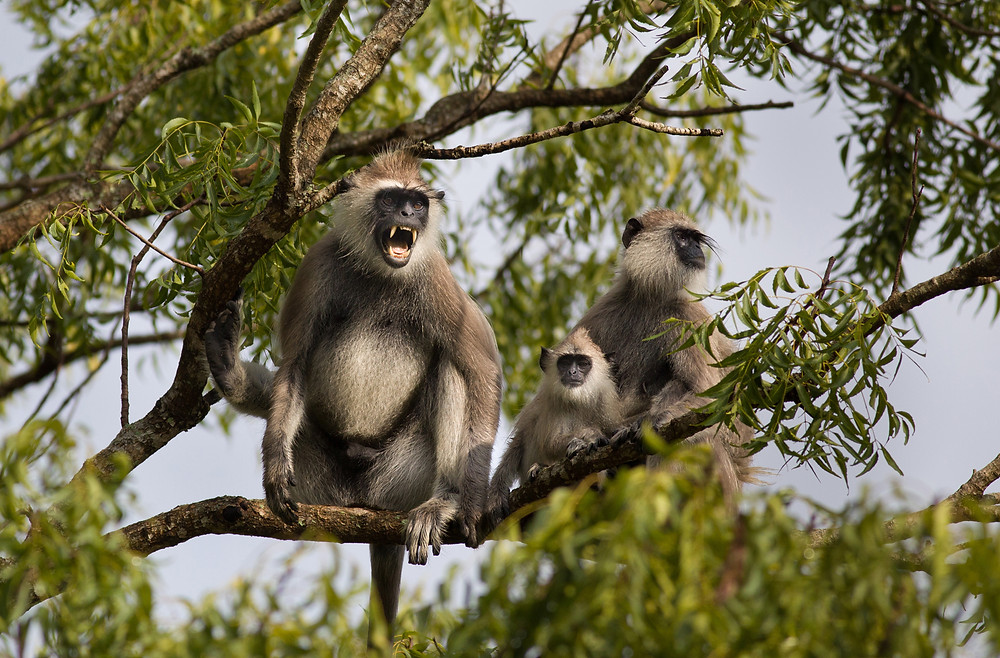Grey Langurs - Pediatric Dentist Phoenix