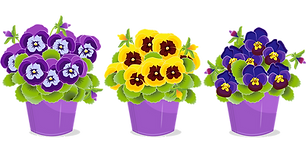 pansy-5142178_1280.png