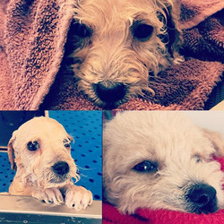 Who doesn't like a relaxing day at the spa_! #dogs #spaday #relaxation #doggrooming #doodle #puppy #