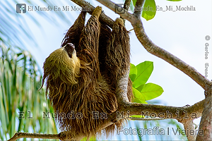 Foto de un oso perezoso en bocas del toro en panama
