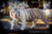 Foto de un tigre blanco en el zoo de belgrado en serbia
