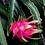 Thumbnail: Dragonfruit (Cotton or Tencel)