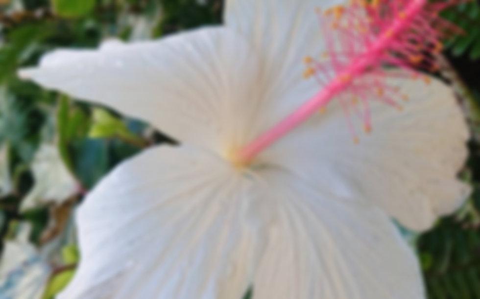hibiscus hawaiian pareo exercise