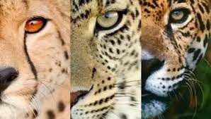 Difference between Jaguar,Leopard and Cheetah.