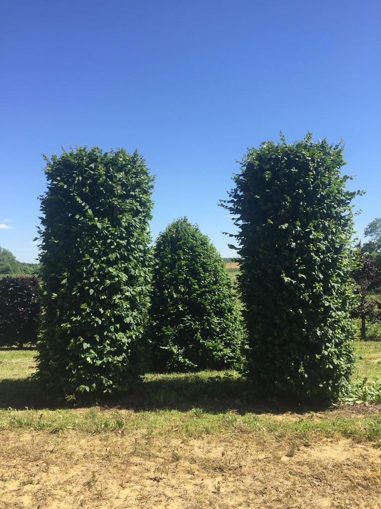 Carpinus betulus Columns