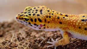 SCHEDA INFORMATIVA - Il geco leopardino