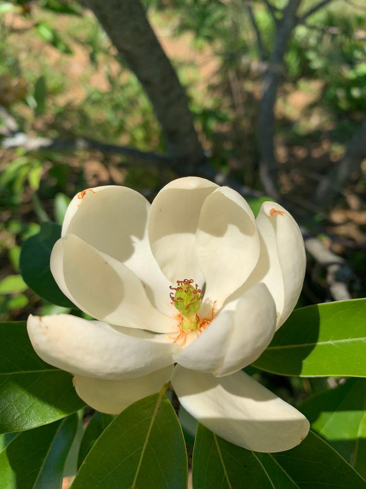 Magnolia virginiana Flower