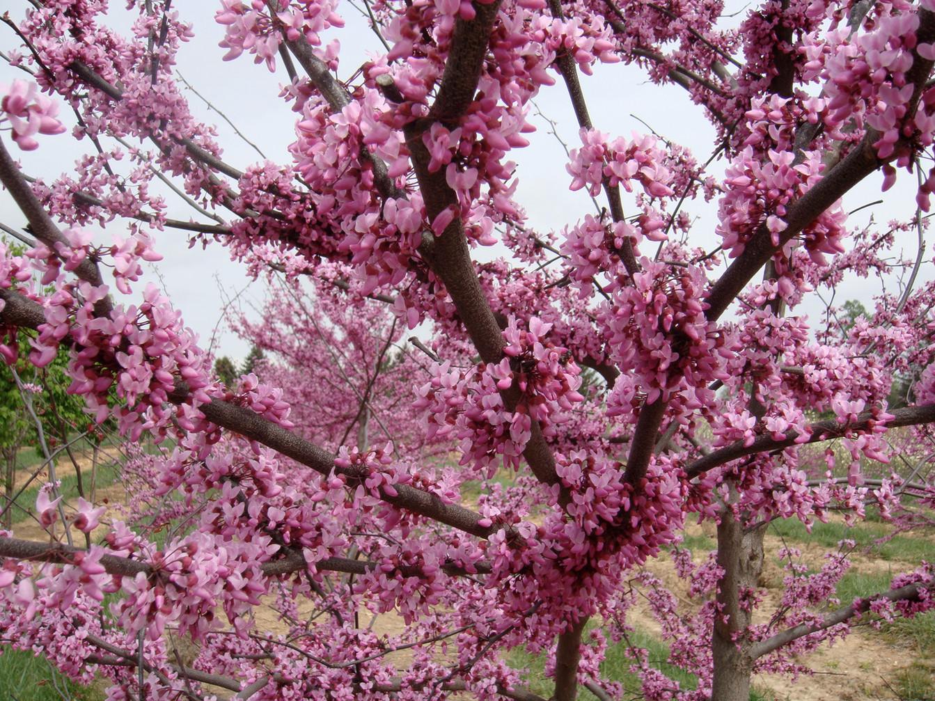 Cercis canadensis Flowers