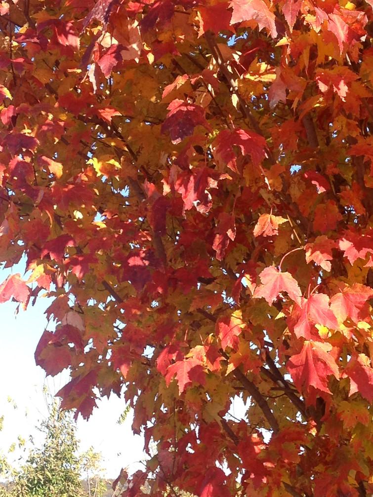 Acer saccharum 'Green Mountain' Foliage