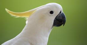Come allevare un pappagallo Cacatua