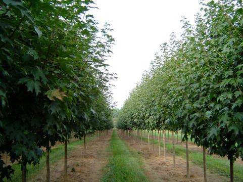 Acer saccharum 'Green Mountain'