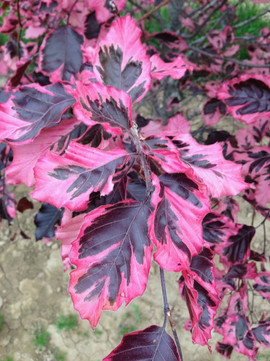 Fagus sylvatica 'Tricolor' Foliage