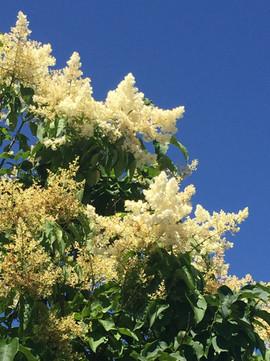 Syringa reticulata 'Ivory Silk' Flowers