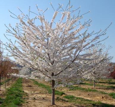 """Prunus x """"Yedoensis"""""""