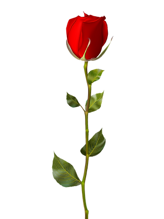 single-red-rose-isolated-on-white-eps-10