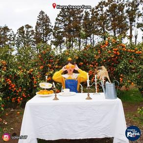 เก็บส้ม ชมสวนสวย ที่เกาะเชจู