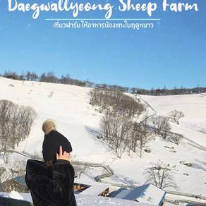 เที่ยวฟาร์มแกะในฤดูหนาวที่ฟาร์มแทกวานรยองยางเตมกจัง (Daegwallyeong Sheep Farm)