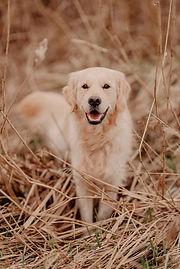 jaimy hond golden retriever shoot fotoshoot dog photography .jpg