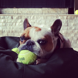 Dog Training Frenchie- Tampa Bay