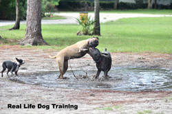 Patsy showing Cash who is the stronger Mastiff_edited