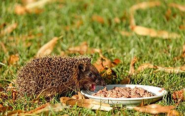 pexels-hedgehog-animal-mammal-spur-16208