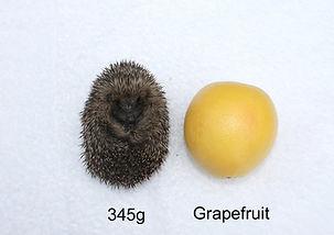 Size-grapefruit-345g.JPG