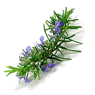 Rosemary-Oil.png