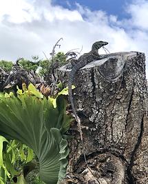 Australian Wildlife Lizard Fauna Obi Obi Homestead.heic