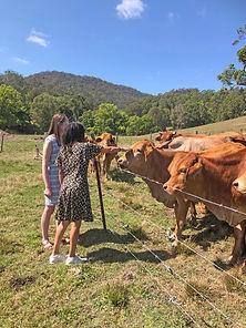 Cows on the Farm Obi Obi Homestead Sunshine Coast Hinterland.jpg