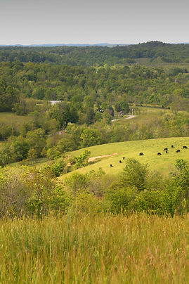Cattle Grazing on a Hillside in SE Ohio