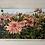Thumbnail: Field of Dahlias
