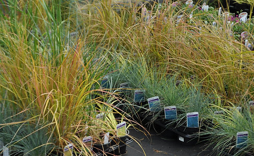 Choose your own Collection of 30 Grasses in 10.5cm pots
