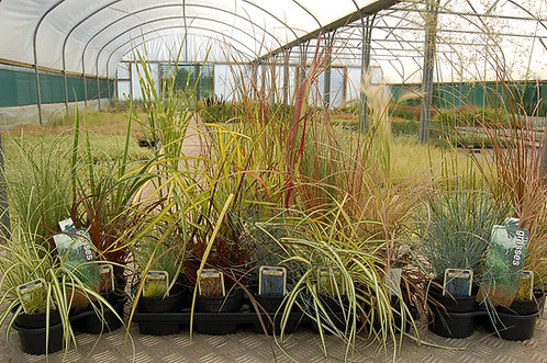 Choose your own Collection of 15 Grasses in 10.5cm pots