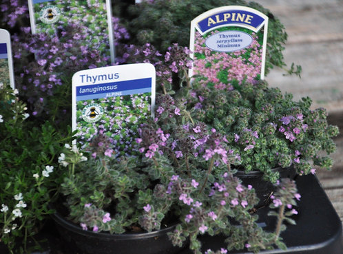 20 Alpines in 9cm Pots for Cracks and Crevices